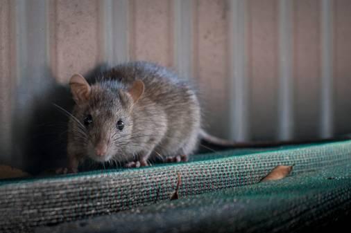 Rattenbekämpfung kosten